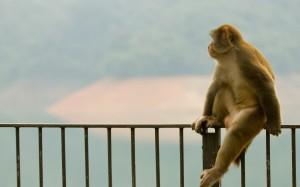 Animals___Monkeys____Monkey_sitting_on_a_fence_059395_